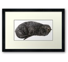 Southern fur seal Framed Print