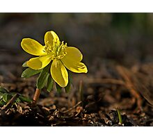 Winter Aconite - March 2013 Photographic Print
