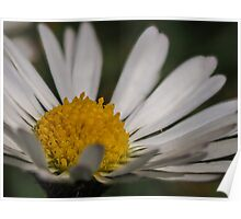 Macro / Close up of a daisy / flower potography flaura Poster