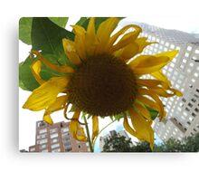Sunflower Close-Up, Community Garden, Lower Manhattan, New York City  Canvas Print