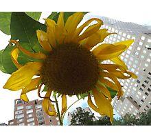 Sunflower Close-Up, Community Garden, Lower Manhattan, New York City  Photographic Print