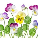 Violas by Mandy Disher