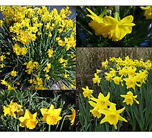 A Collage of Golden Daffodils Photographic Print