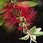 Australian Bottlebrush Flower by Joy Watson