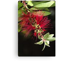 Australian Bottlebrush Flower Canvas Print