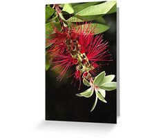 Australian Bottlebrush Flower Greeting Card