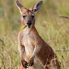 Chewin' the Grass- Kangaroo by mncphotography