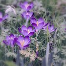 Soft Focus Crocus by Lisa Kent