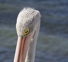 Pelican Sleeping by Stephen Mitchell