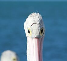 Pelican Eye Wear by Stephen Mitchell