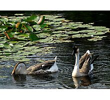 Geese On A Leisurely Jaunt Photographic Print
