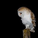 Barn Owl by Ian Hufton