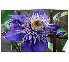 Purple Clematis Poster
