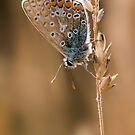 Common Blue butterfly by Ian Hufton