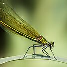 Banded Demoiselle dragonfly by Ian Hufton
