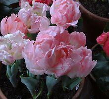 Plush Pink Tulips by Liesl Gaesser