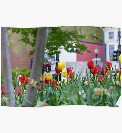 Spring Tulips in Georgetown Poster