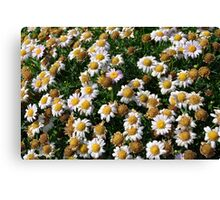 White flowers and yellow center, natural background. Canvas Print