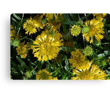 Large beautiful yellow flowers in the garden. Canvas Print
