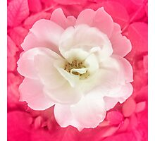 White Rose with Pink Leaves Around Photographic Print