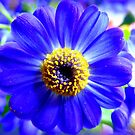 Blue Cineraria by ©The Creative  Minds