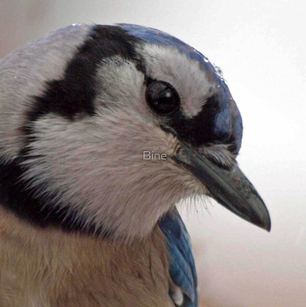 Portrait of a Blue Jay by Bine