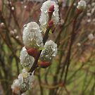 Pussy Willow with Raindrops by TrendleEllwood