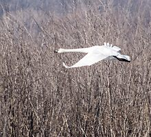 Trumpeter Swan Flies Past Brush by Deb Fedeler