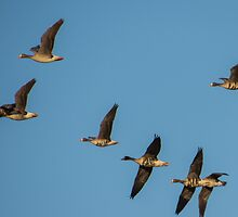 White Fronted Geese In Flight At Otter Marsh by Deb Fedeler