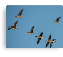 White Fronted Geese In Flight At Otter Marsh Canvas Print