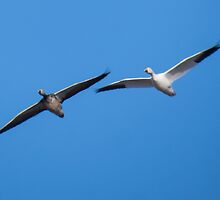 Snow Goose Adult and Juvenile In Flight by Deb Fedeler