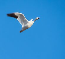 Snow Goose White Morph In Flight by Deb Fedeler