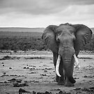 Tusker by Pete Latham