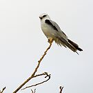 Black Shouldered Kite 2 by mncphotography