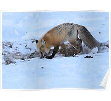 Scavenger Fox Poster