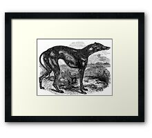 Vintage Greyhound Dog Illustration Retro 1800s Black and White Image Framed Print