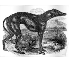 Vintage Greyhound Dog Illustration Retro 1800s Black and White Image Poster