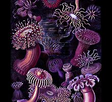 Actiniae Purple Anemones by diane  addis