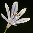 One Agapanthus flower by DPalmer