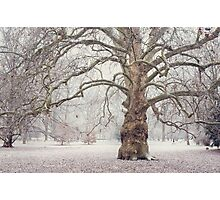 Platan Tree in Early Winter Photographic Print