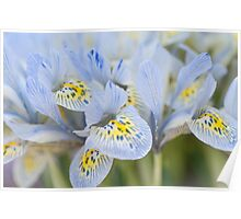 Bunch of Blue Mini Irises  Poster