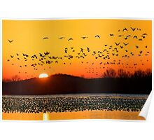 Snow Geese Flying at Sunrise Poster