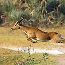 Leaping Lechwe by Explorations Africa Dan MacKenzie