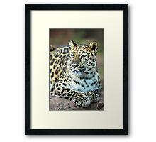 Leopard Resting in the Sun Framed Print
