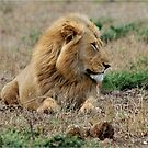 FEELING LONELY - THE LION – Panthera leo by Magriet Meintjes