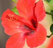 Red Hibiscus with blurred background Sticker