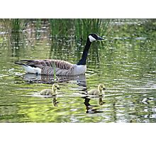 Canada Geese Goslings Photographic Print
