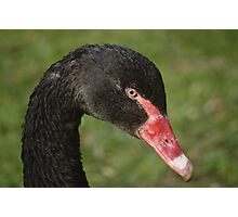 Black Swan Portrait Photographic Print