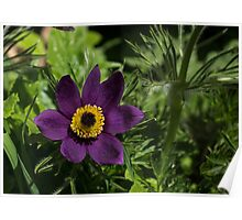 Deep Purple Easter Anemone Blossom Poster