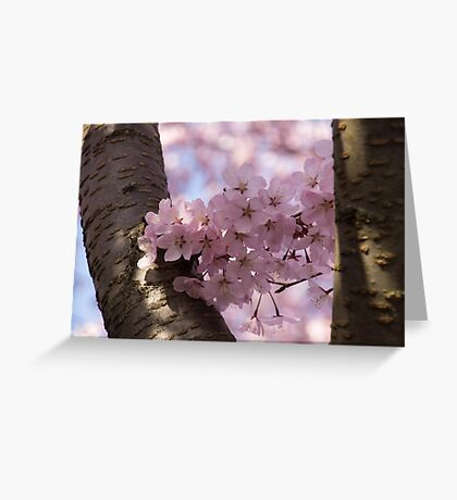 Silver Bark and Pink Blossoms Greeting Card